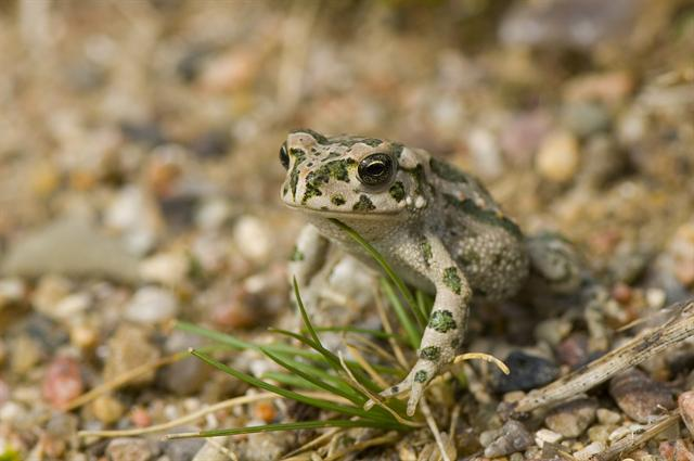 European Green Toad (Bufo viridis)