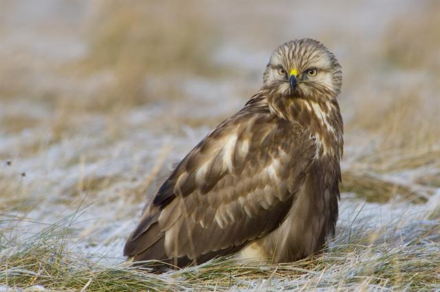 Rough-legged Buzzard (Buteo lagopus)