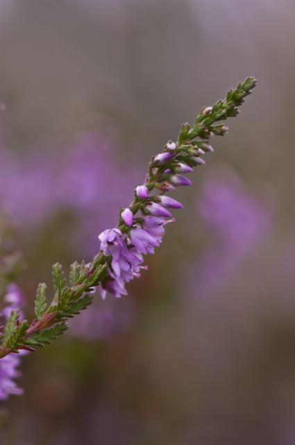 Heather, Ling (Calluna vulgaris)