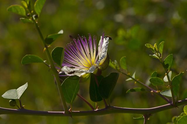 Capparis spinosa photo