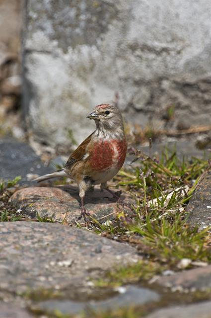 Common Linnet (Carduelis cannabina)