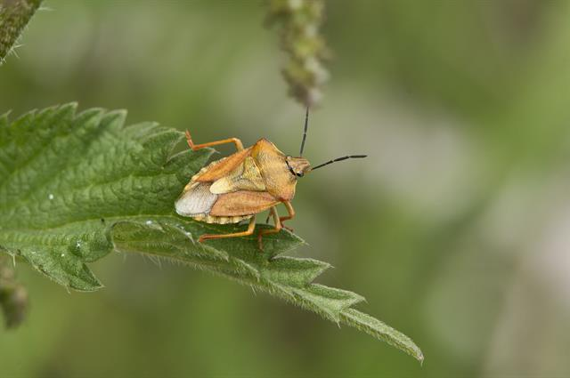 Black-shouldered Shield Bug (Carpocoris purpureipennis)
