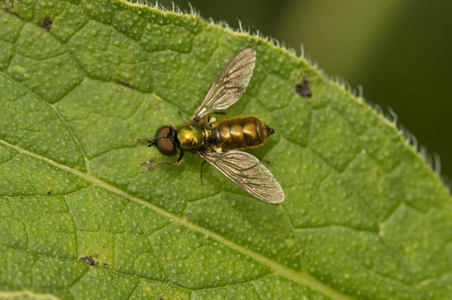 Chloromyia formosa photo