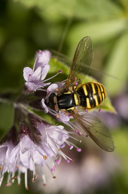 Chrysotoxum arcuatum photo