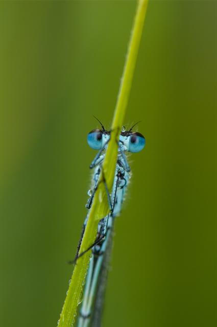 Variable Damselfly Damselfly (Coenagrion pulchellum)