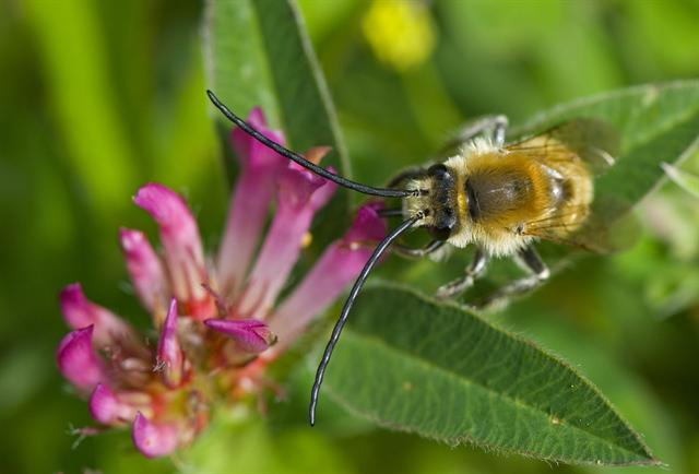 Long-horned Bee (Eucera longicornis)
