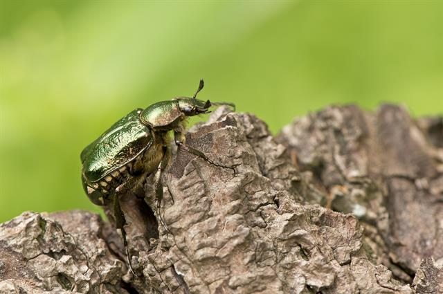 Noble chafer (Gnorimus nobilis)