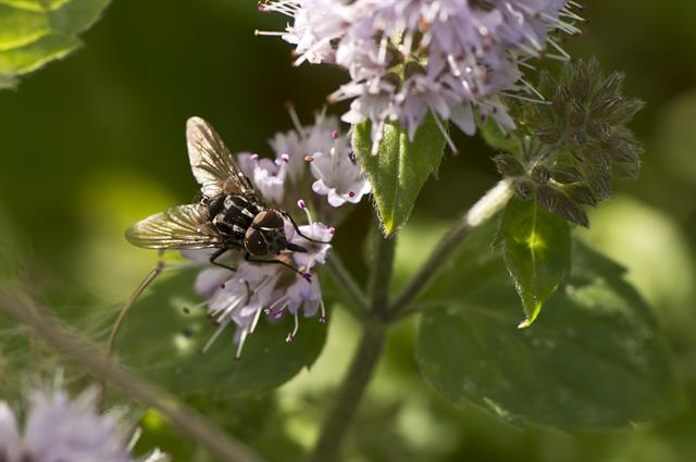 Graphomya maculata photo