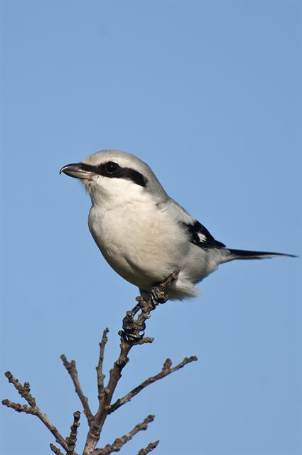 Great Grey Shrike (Lanius excubitor)