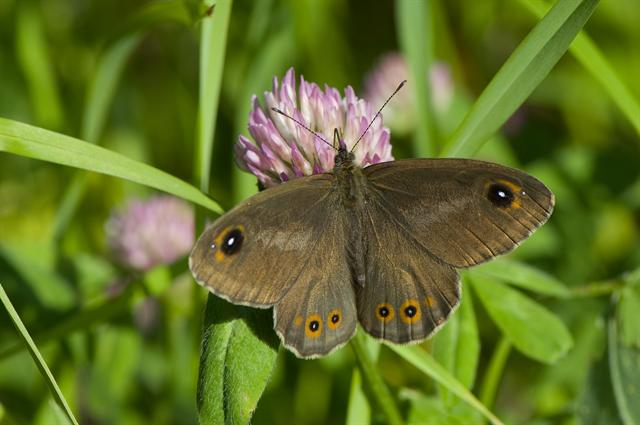 Large Wall Brown (Lasiommata maera)