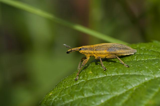 Lixus paraplecticus photo