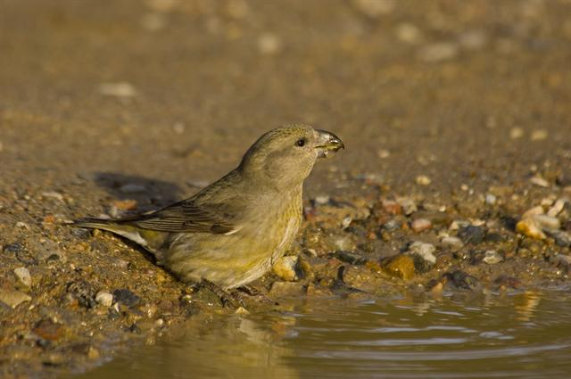 Parrot Crossbill (Loxia pytyopsittacus)