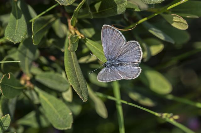 Alcon Blue (Maculinea alcon)