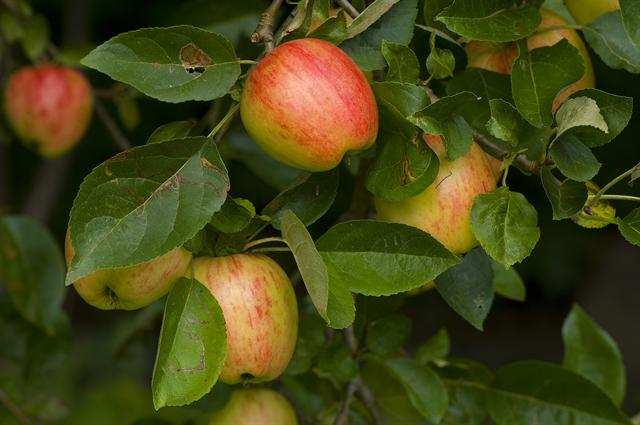 Apple - Cultivated Apple (Malus domestica)