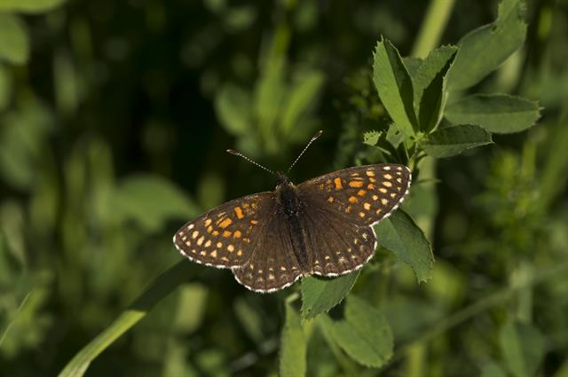 False-heath Fritillary (Melitaea diamina)
