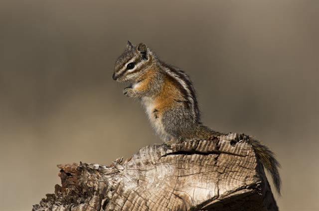 Chipmunk (Neotamias sp.)