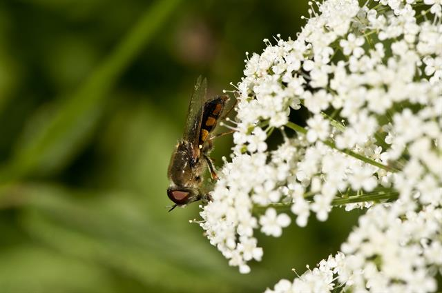 Odontomyia ornata photo