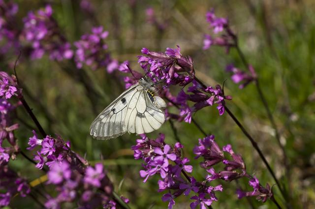 Parnassius mnemosyne photo