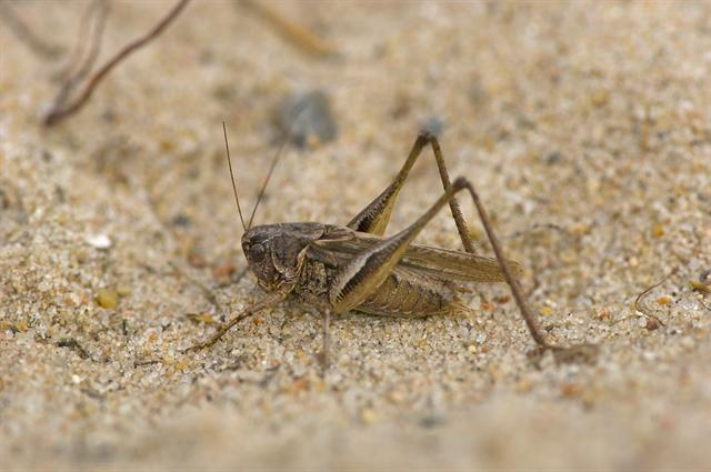 Grey Bush-cricket (Platycleis albopunctata)