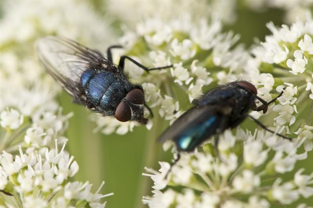 Protocalliphora azurea