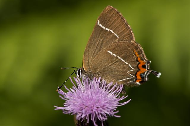 White-letter Hairstreak (Satyrium w-album)