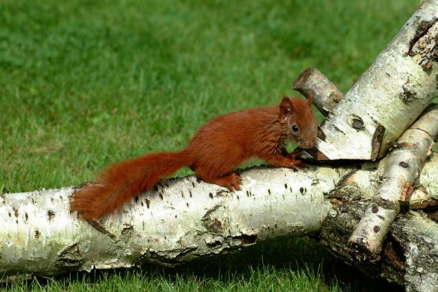 Red Squirrel (Sciurus vulgaris)