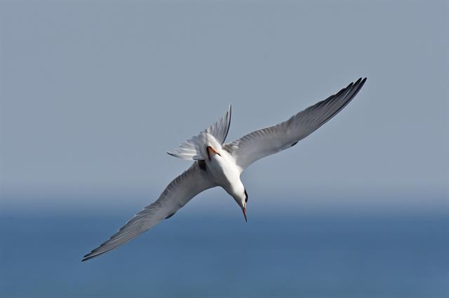 Common Tern (Sterna hirundo)