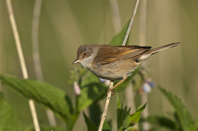 Common Whitethroat (Sylvia communis)