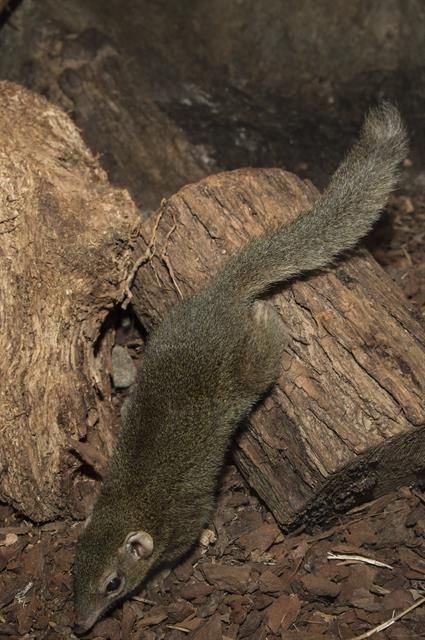 Common Tree Shrew (Tupaia glis)