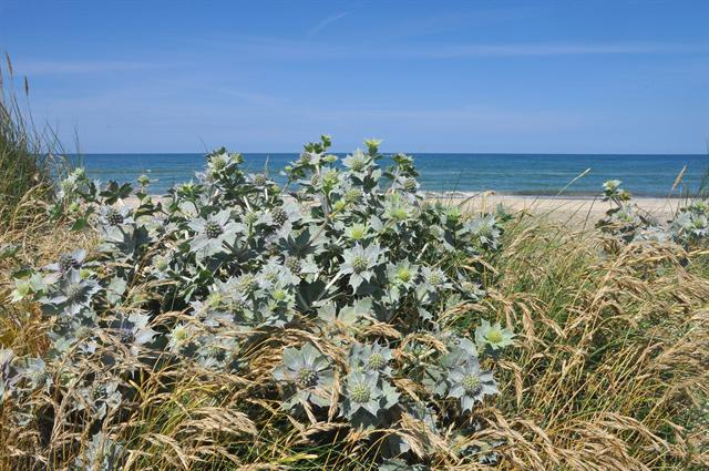Sea Holly (Eryngium maritimum) photo
