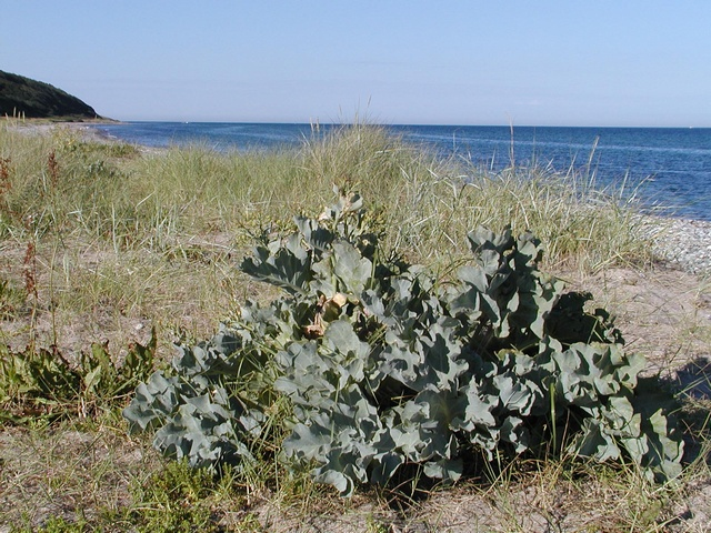 Sea Kale (Crambe maritima) photo
