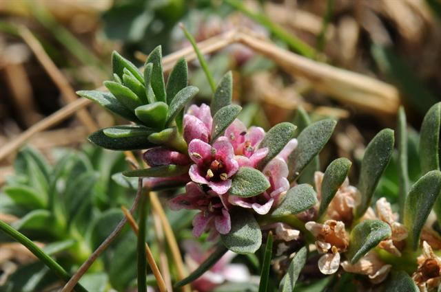 Sea Milkwort (Lysimachia maritima) photo
