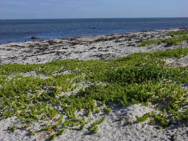 Sea Sandwort (Honckenya peploides) photo