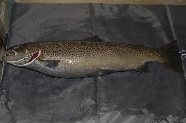 Sea trout (Salmo trutta trutta) photo