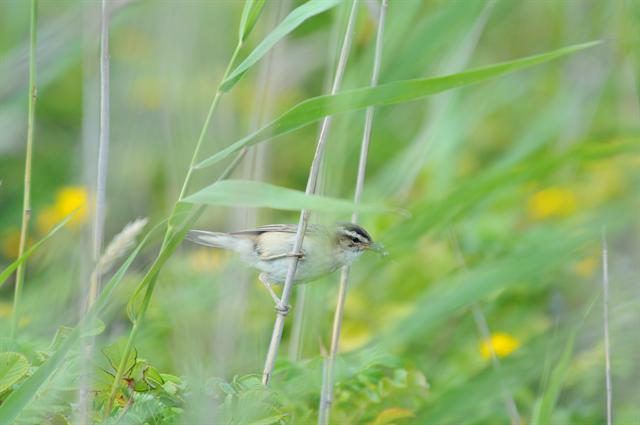 Sedge Warbler (Acrocephalus schoenobaenus) photo