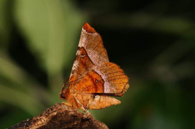 Purple Thorn (Selenia tetralunaria)