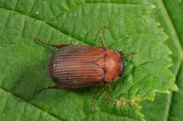 Brown Chafer (Serica brunnea)