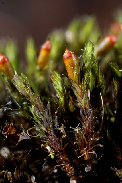 Sessile Grimmia (Schistidium apocarpum) photo