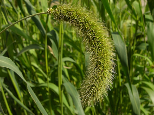 Image of Setaria italica