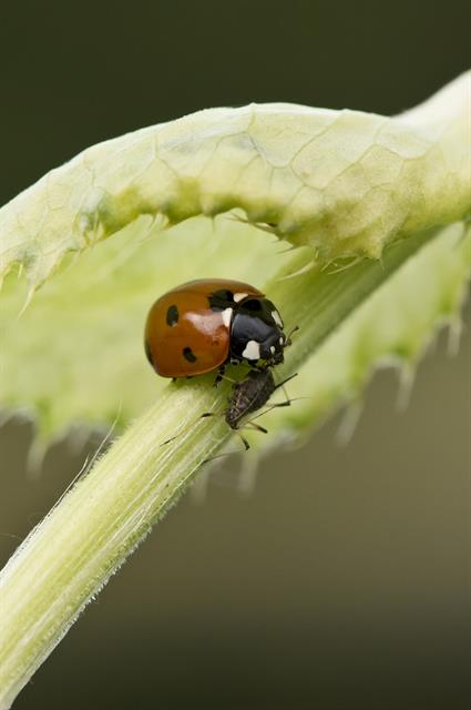 Sevenspotted Lady Beetle (Coccinella septempunctata) photo