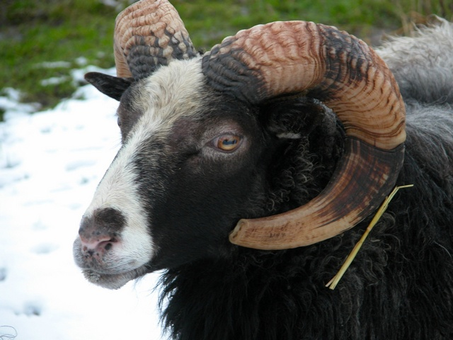 Sheep (Ovis aries) photo