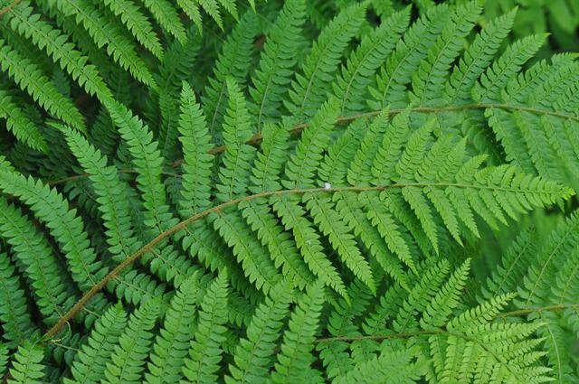 Shield-Fern (Polystichum setiferum) photo