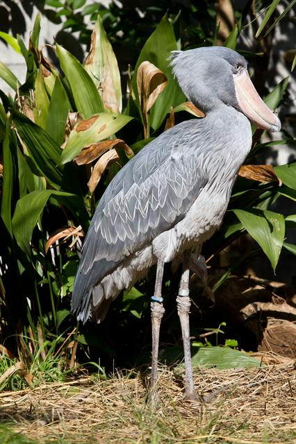 Shoebill (Balaeniceps rex) photo