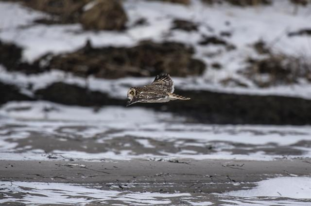 Short-eared Owl (Asio flammeus) photo
