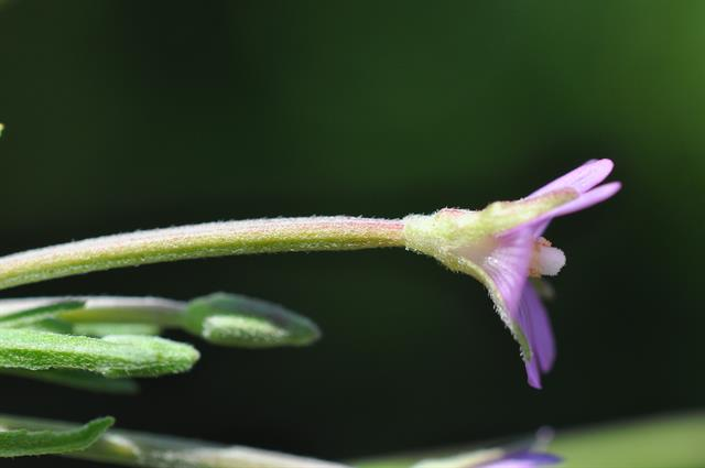Short-fruited Willowherb (Epilobium obscurum) photo