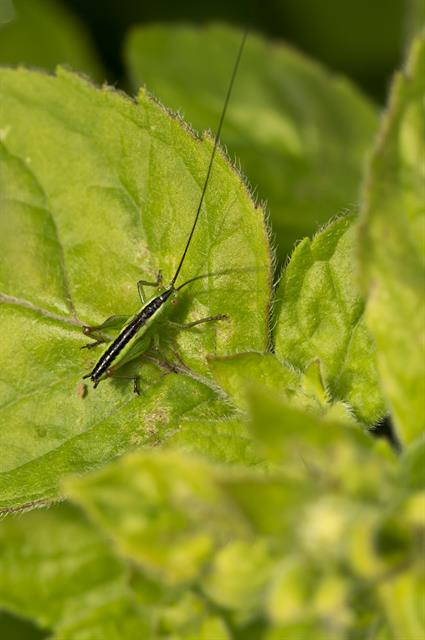 Short-winged Conehead (Conocephalus dorsalis) photo