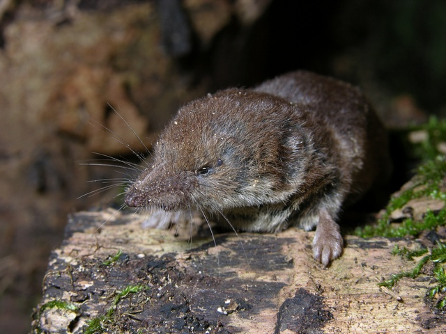Shrew (Sorex araneus) photo