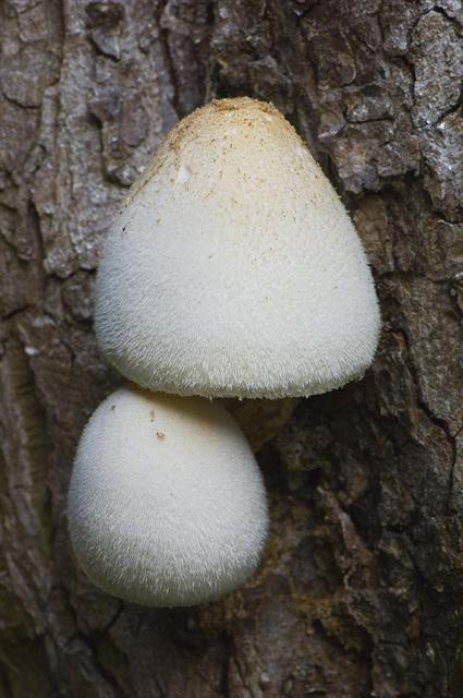 Silky Rosegill (Volvariella bombycina) photo