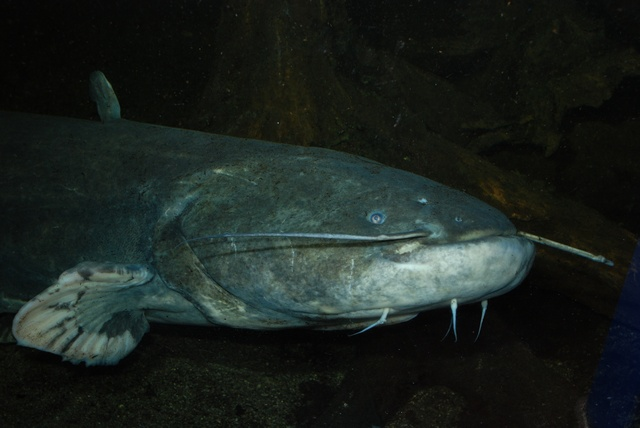 Wels catfish   (Silurus glanis)