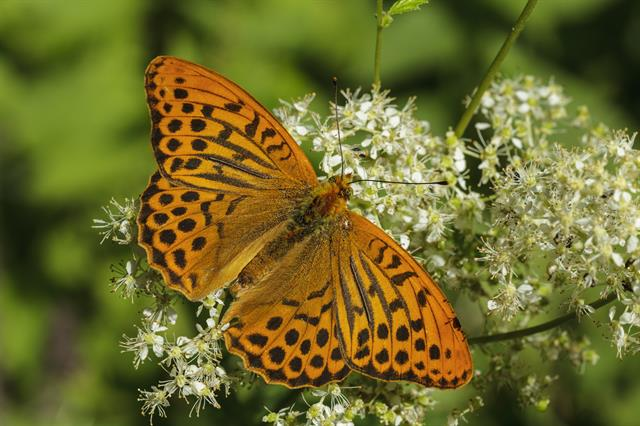 Silver-washed Fritillary (Argynnis paphia) photo